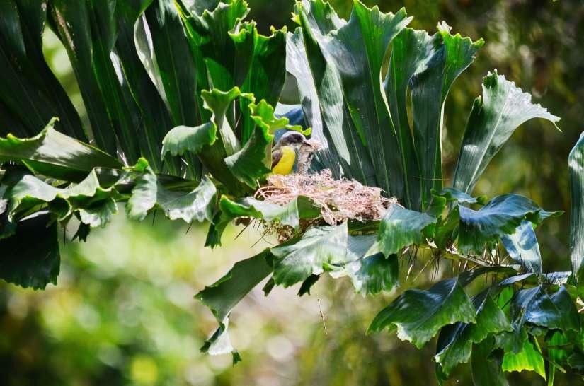 a social flycatcher building a nest, kokoro lodge, la fortuna, costa rica