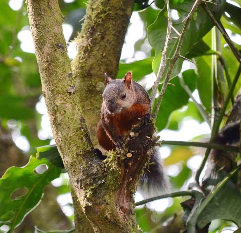 a variegated squirrel, kokoro lodge, la fortuna, costa rica