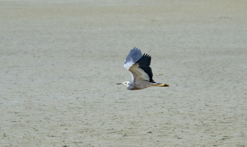 a white-faced heron in flight, Pukorokoro Miranda Shorebird Centre, north island, new zealand
