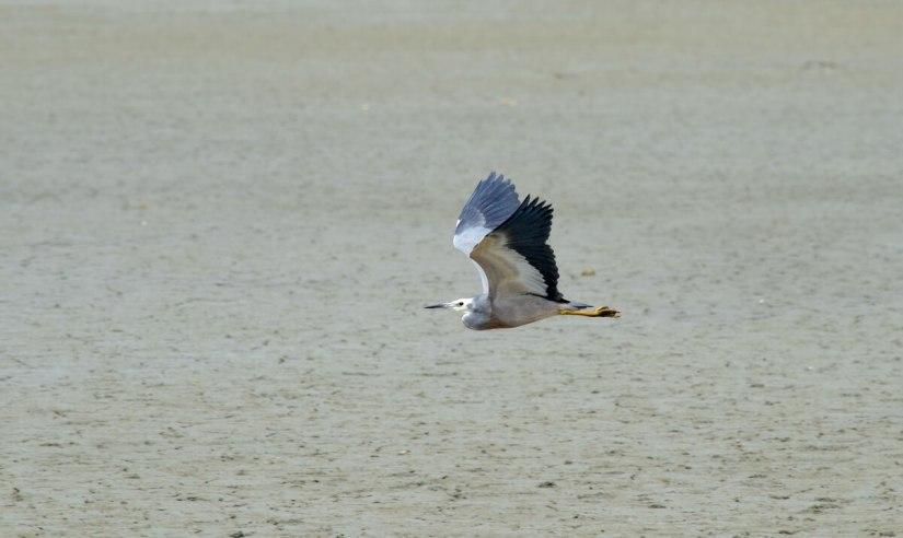 a white-faced heron in flight, Pukorokoro Miranda Shorebird Centre, north island, new zealand