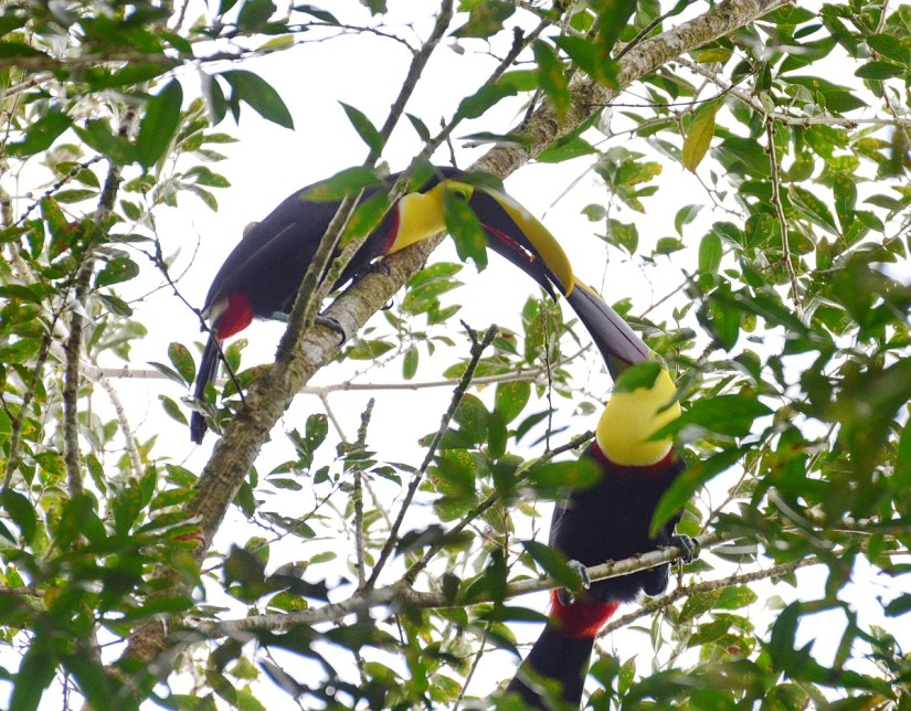 a pair of yellow-throated toucans, la fortuna, costa rica