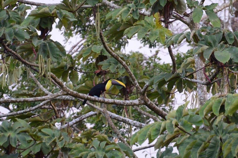 a yellow-throated toucan, mistico arenal hanging bridges park, la fortuna, costa rica