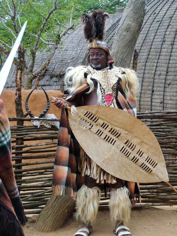 a zulu chieftain with war shield, shakaland, kwazulu-natal, south africa