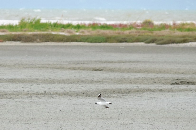 a black-billed gull, Pukorokoro Miranda Shorebird Centre, north island, new zealand