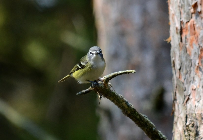 a blue-headed vireo, the old cut, long point, ontario