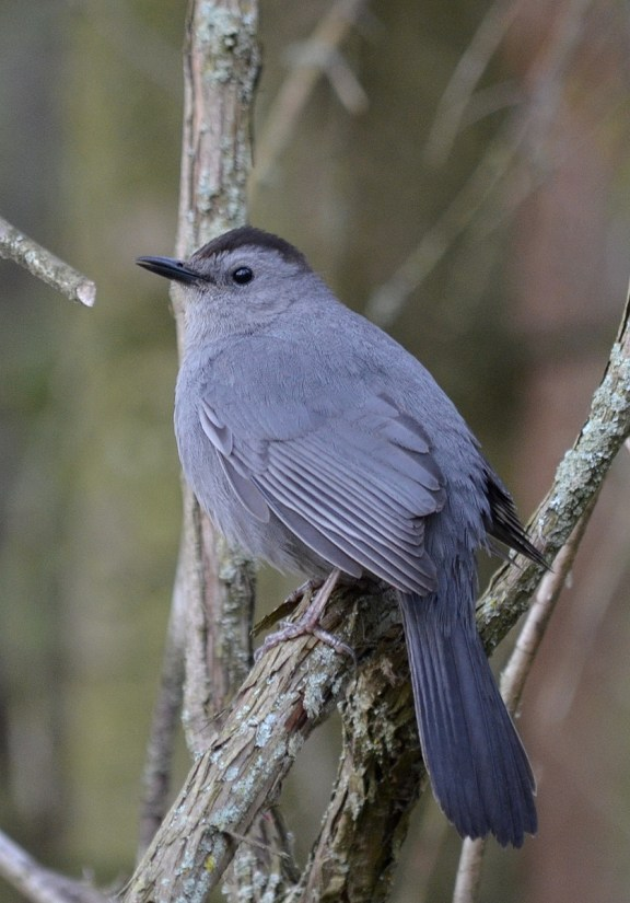 gray catbird, lighthouse woods, the old cut, long point, ontario