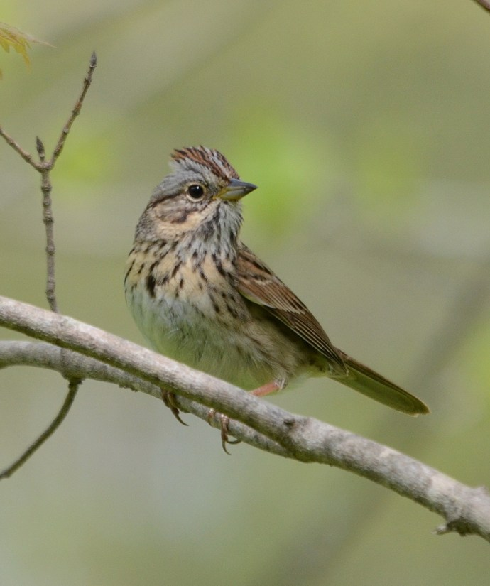 a lincoln's sparrow, jackson-gunn old growth forest, long point, ontario