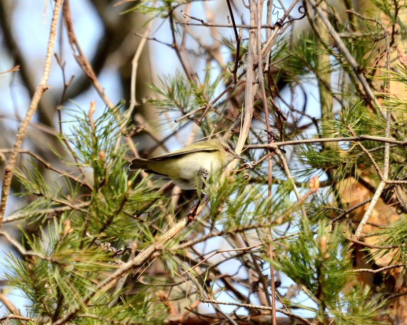 a red-eyed vireo, the old cut, long point, ontario