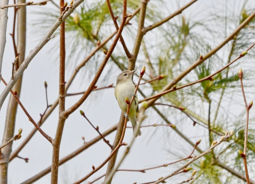 a warbling vireo, Bird Studies Canada Headquarters, port rowan, ontario