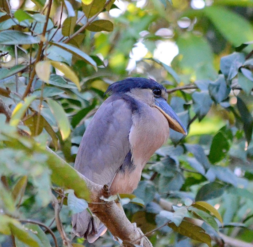a boat-billed heron, cano negro wildlife refuge, costa rica