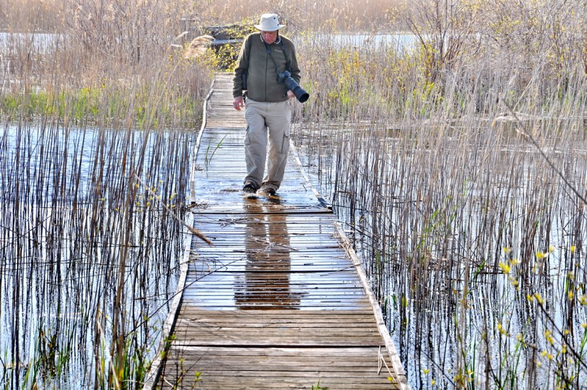 bob crossing a boardwalk, crown marsh, long point, ontario