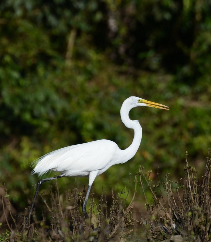 a great egret, cano negro wildlife refuge, costa rica