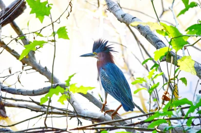 a green heron, cano negro wildlife refuge, costa rica
