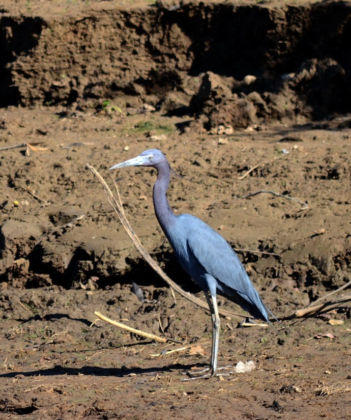 a little blue heron, cano negro wildlife refuge, costa rica