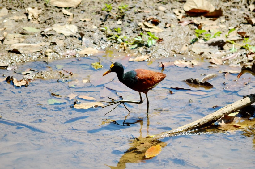a northern jacana, cano negro wildlife refuge, costa rica