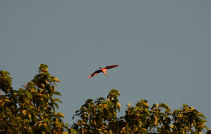 a roseate spoonbill in flight, cano negro wildlife refuge, costa rica