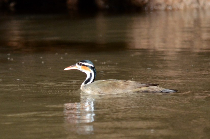 a female sungrebe, cano negro wildlife refuge, costa rica