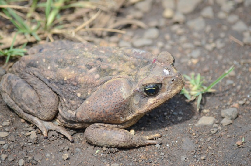 large brown toad, costa rica