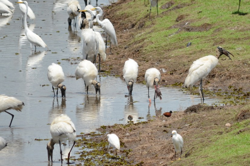 wood storks and great egrets, near cano negro, costa rica