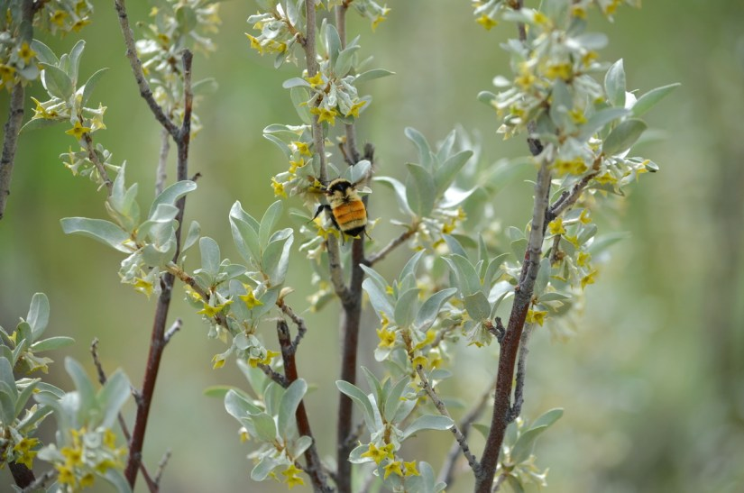 a bee on wolf willow, valley of 1000 devils route, grasslands national park east block, saskatchewan