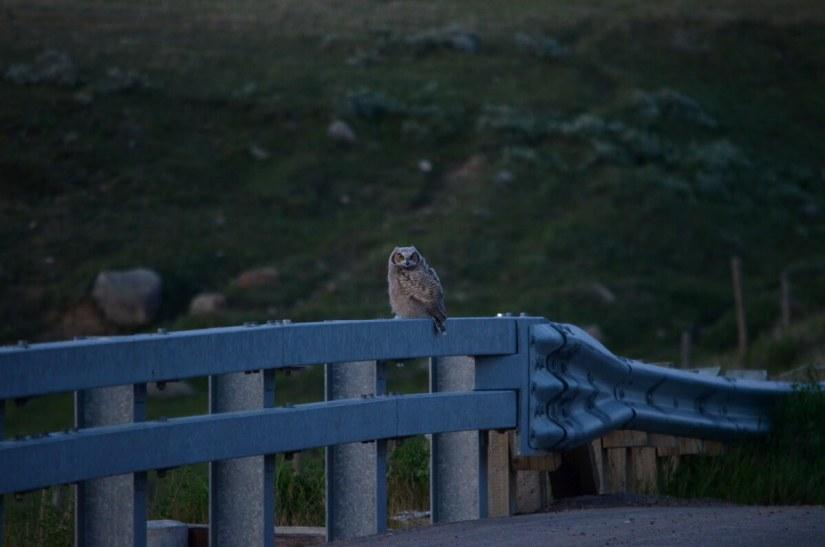 a great horned owlet at dusk, saskatchewan