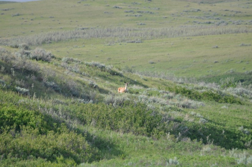 a mule deer, valley of 1000 devils route, grasslands national park east block, saskatchewan