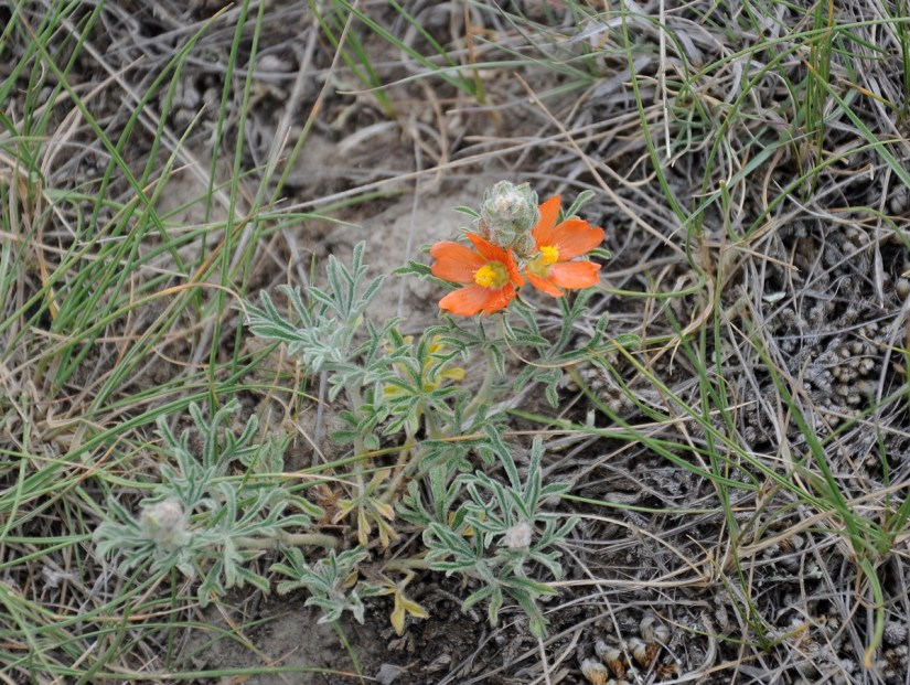 scarlet mallow wildflowers, valley of 1000 devils route, grasslands national park east block, saskatchewan
