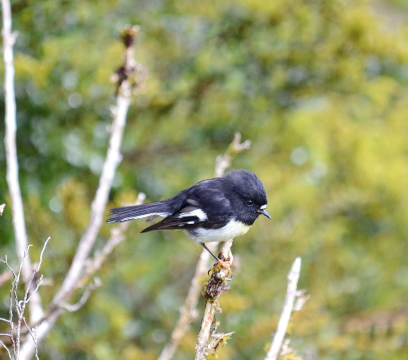 a south island tomtit, fiordland ntnl park, south island, new zealand