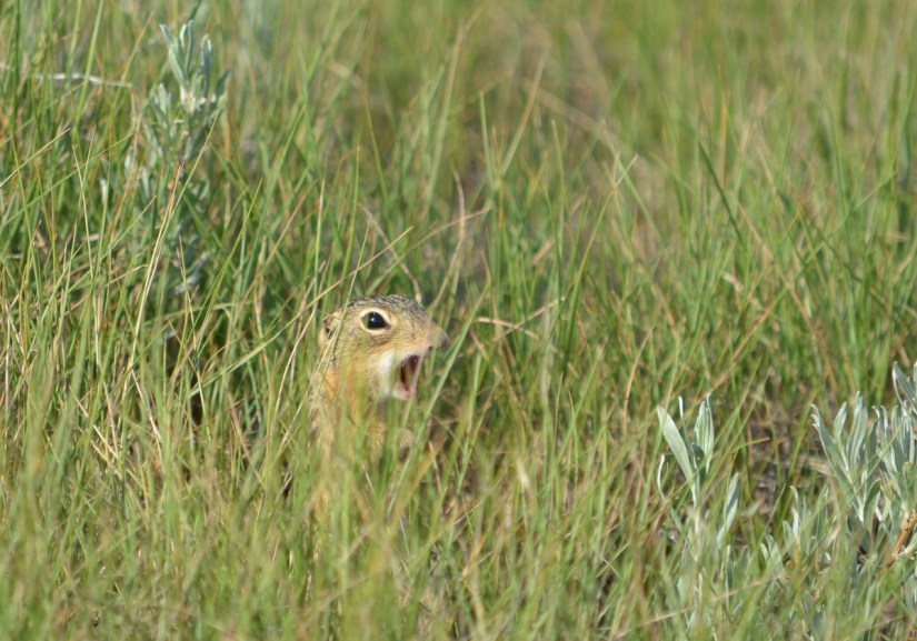 a thirteen-lined ground squirrel, valley of 1000 devils route, grasslands national park east block, saskatchewan