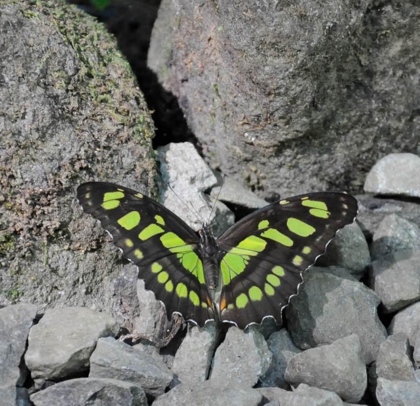 a malachite butterfly, ecocentro danaus, la fortuna, costa rica