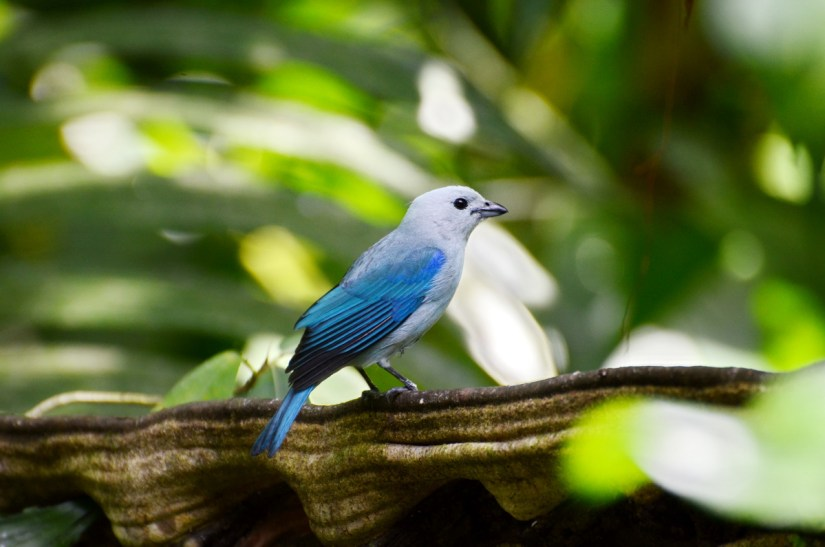 a blue-gray tanager, ecocentro danaus, la fortuna, costa rica