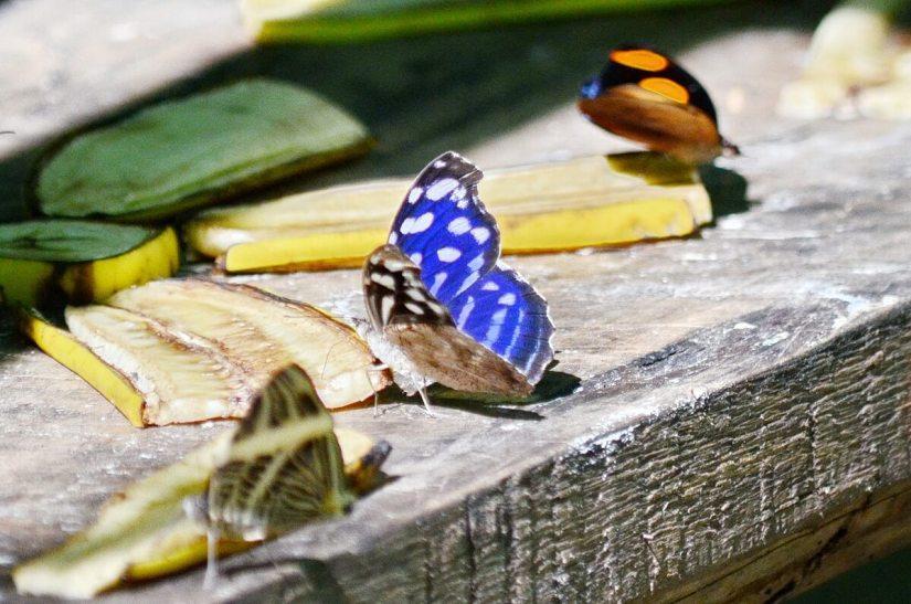 blue wave butterfly, ecocentro danaus, la fortuna, costa rica