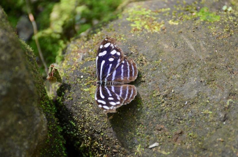 a blue wave butterfly, ecocentro danaus, la fortuna, costa rica