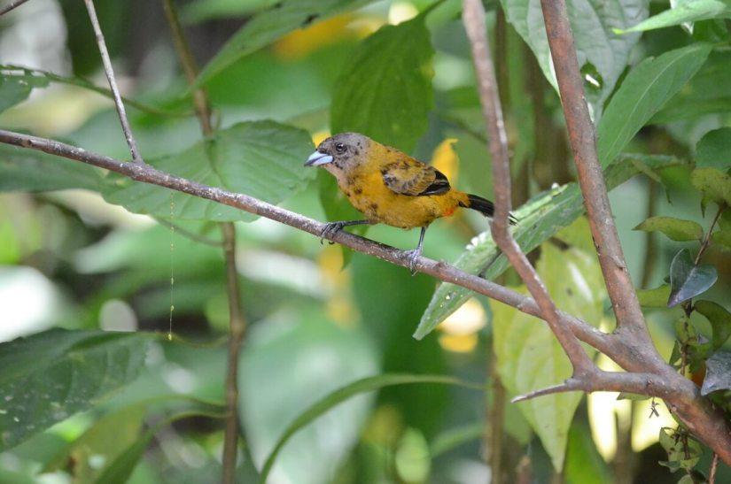 a female scarlet-rumped tanager, ecocentro danaus, la fortuna, costa rica