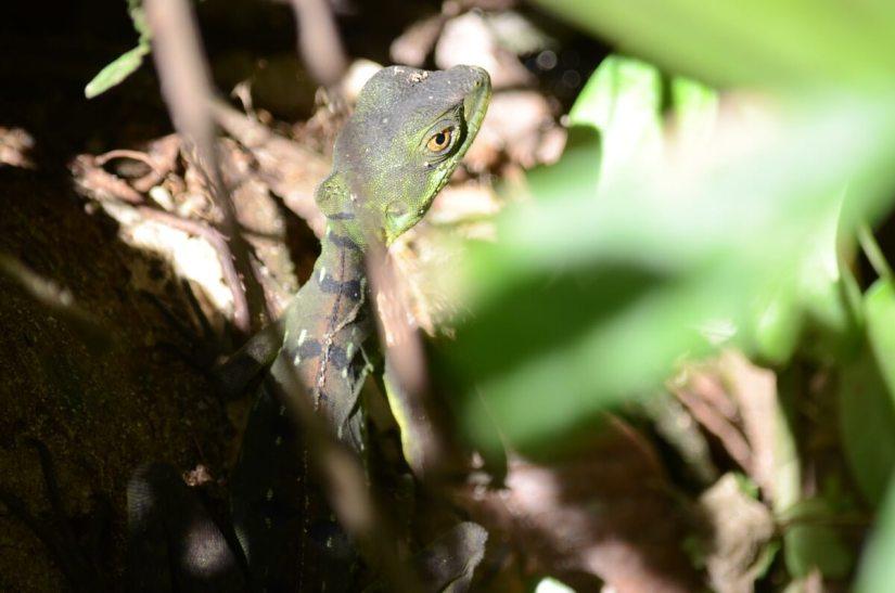 a young common basilisk, ecocentro danaus, la fortuna, costa rica