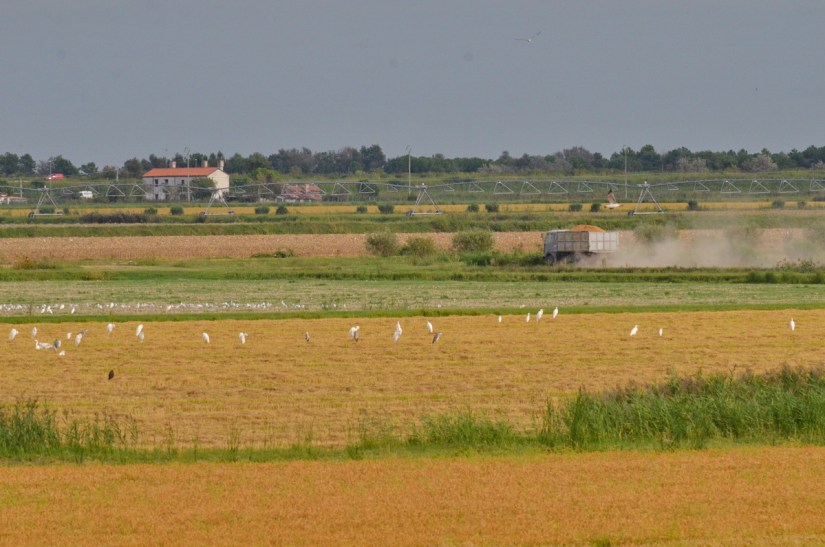 egrets after the rice harvest, parco regionale veneto del delta del po, po river delta, italy