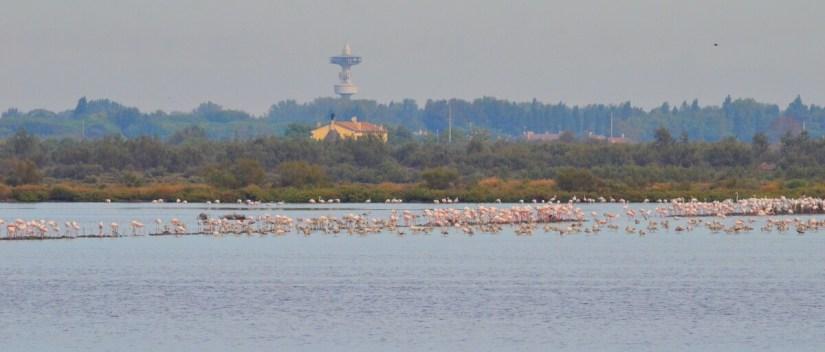 a greater flamingo colony, parco regionale veneto del delta del po, po river delta, italy