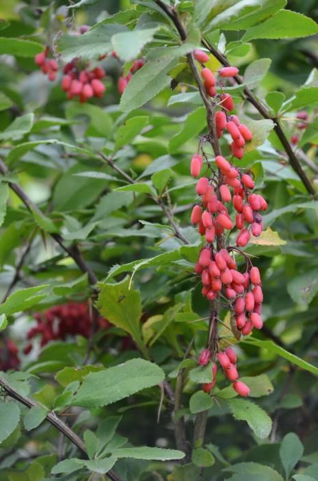 red fruits, oasi di ca' mello, oasis of ca' mello, parco regionale veneto del delta del po, po river delta, italy