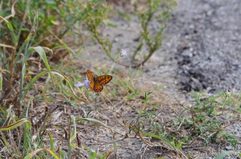 a wall brown butterfly, parco regionale veneto del delta del po, po river delta, italy