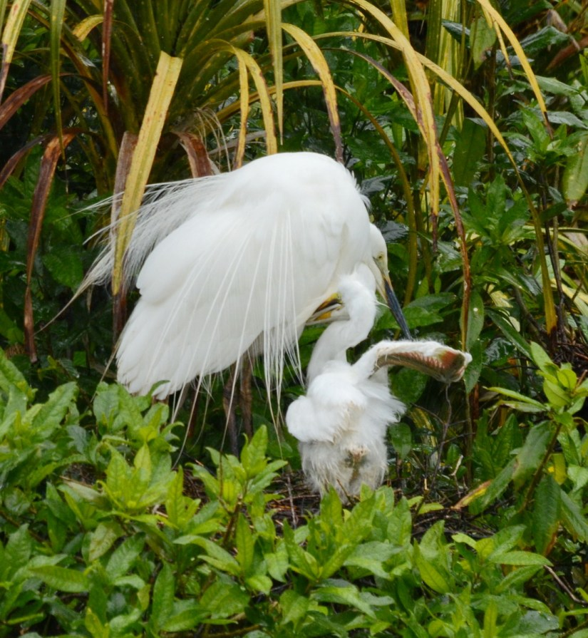 a white heron and chick in nest, white heron sanctuary, south island, new zealand