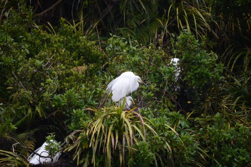 white heron and chick in nest, white heron sanctuary, south island, new zealand