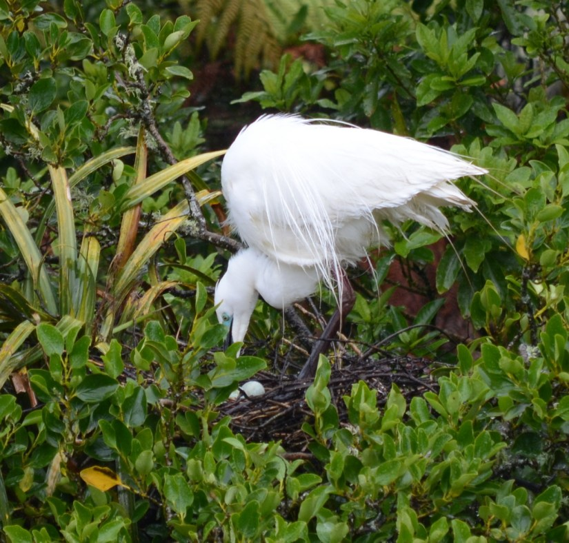 a white heron with eggs in nest, white heron sanctuary, south island, new zealand
