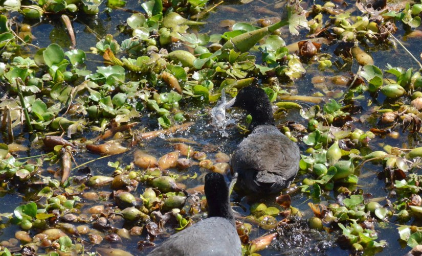 american coots in water hyacinths, lake chapala, mexico