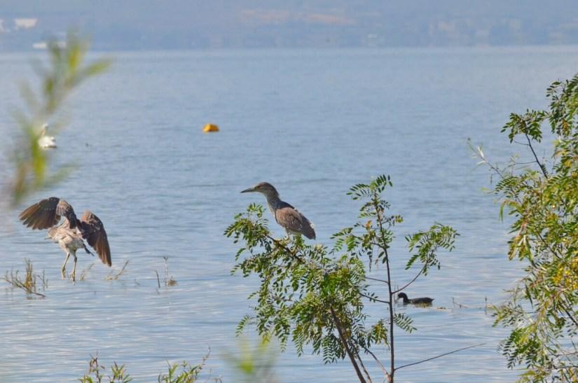 black-crowned night herons, lake chapala, mexico