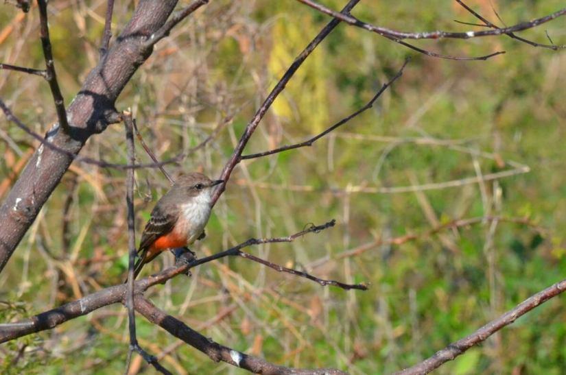 a vermilion flycatcher, lake chapala, mexico