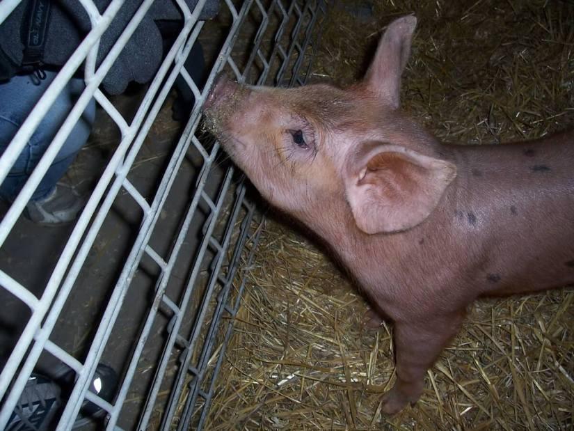 a piglet, markham fair, 2006