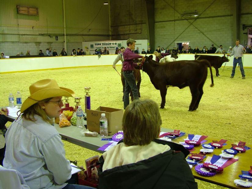 cattle being judged, markham fair, markham, ontario, 2010