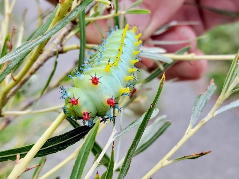 cecropia moth caterpillar, rouge national urban park, markham, ontario