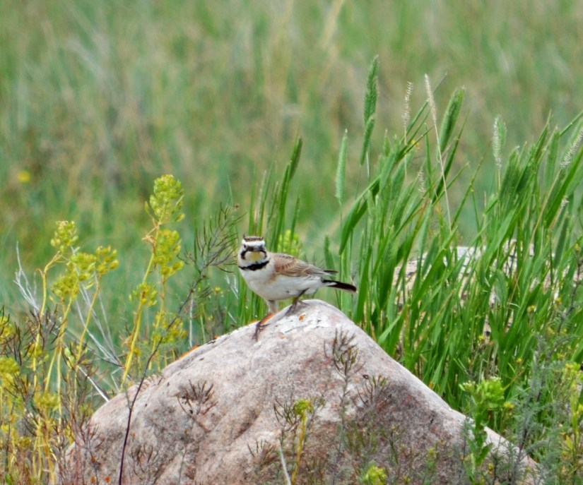 a horned lark, grasslands national park, saskatchewan