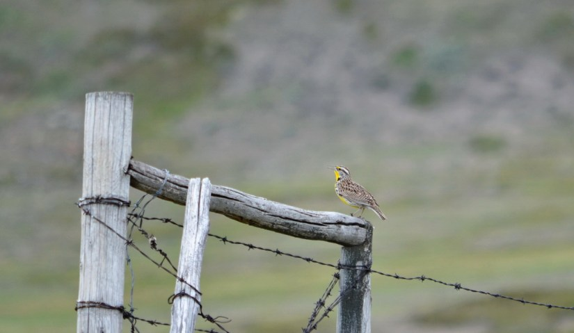 western meadowlark, grasslands national park, saskatchewan